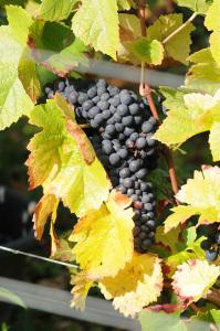 2143-199x300 In vino veritas oenotourisme