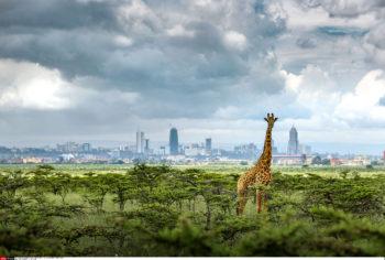 Paras Chandaria. A giraffe against the back drop of Nairobi National Park.