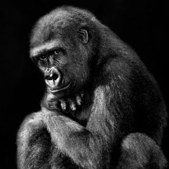 Isabel Muñoz, Série Primates, Lola Ya Bonobo, Congo, 2015