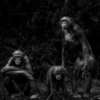 Isabel-Muñoz-Série-22Primates22-Lola-Ya-Bonobo-Congo-2014-350x350 MERIGNAC PHOTOGRAPHIC FESTIVAL ART