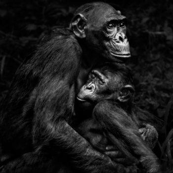 Isabel-Muñoz-Série-22Primates22-Lola-Ya-Bonobo-Congo-2015-350x350 MERIGNAC PHOTOGRAPHIC FESTIVAL ART